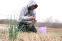 A member of the Muscogee Creek tribe of Oklahoma picks wild onions. Wild onion dinners are a benefit for American Indian tribes in Oklahoma and the Dallas United Indian Methodist Church has scheduled its own on March 25.(Chelsie Rich/Special contributor)