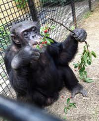 "In this July 2013 photo provided by the Primate Sanctuary, the chimpanzee Kiko eats wild cherries at the nonprofit Primate Sanctuary in Niagara Falls, N.Y. Kiko's keeper Carmen Presti, and his wife rescued the deaf chimp 23 years ago from a life of performing at state fairs and in the television movie ""Tarzan in Manhattan."" Kiko, who has medical problems requiring constant attention, is at the center of a court effort Thursday, March 16, 2017, by attorney Steven Wise, who will try to persuade a New York appeals court that a chimpanzee should be treated as a person with legal rights, when he presents the case of Kiko and another chimp, arguing that they should be freed from cages to live in an outdoor sanctuary. But Presti said, ""If he's taken away, he could die without his family to give him the special care he needs, and to bring him into the house to play."" (Primate Sanctuary via AP)(AP)"
