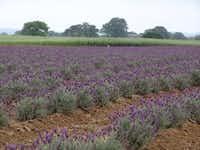 Becker Vineyards' Lavender field