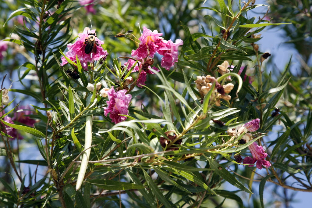 Native Desert Willow Trees Can Live Longer Than You Might Think