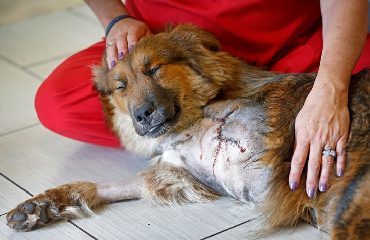 Shot in the leg, this dog had little hope until Texas rescue groups ...