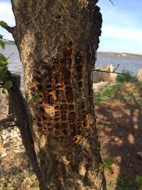 Sapsucker damage on apricot tree(Reader photo)