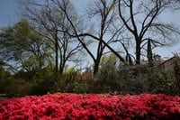Joe Jr. and Henry Lambert helped to introduce Azaleas to the Dallas landscape. Azaleas were photographed near the corner of Armstrong Parkway and where Oak Lawn Avenue turns into Preston Road in Dallas Thursday March 23, 2017. (Andy Jacobsohn/The Dallas Morning News)(Staff Photographer)