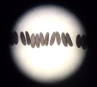 Mosquito eggs seen through a microscope. Oxitec photo