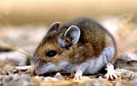 This undated photo provided by the National Park Service, a deer mouse (Peromyscus maniculatus). The deer mouse helps spread hantavirus to humans.(AP)