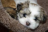 A Malti-Tzu puppy (Creative Commons photo by Wayne Silver)