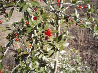 In winter, red berries embellish yaupon holly's spineless, scalloped leaves.((Tribune News Service))