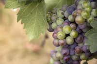 Mourvedre grape at Brennan Vineyards in Comanche Texas (Brennan Vineyards)