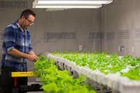 Nick Burton demonstrates how hydroponically grown lettuce is harvested in a grow house at Paris Victory Gardens. ((Smiley N. Pool/Staff Photographer))
