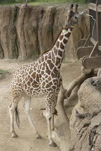 "<p><span style=""font-size: 1em; background-color: transparent;"">Katie, a giraffe at the Dallas Zoo, is pregnant and due next month.</span></p>((Dallas Zoo))"