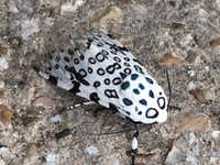 Giant Leopard Moth(Reader photo)
