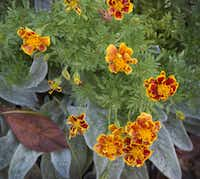 Marigolds in an Oak Cliff neighborhood.(Special Contributor)
