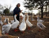 "Anne Carlson of Dallas feeds the geese at White Rock Lake in Dallas in the late afternoon on Super Bowl Sunday, February 6, 2011.  ""It's my relaxation. They are just really dear,"" said Carlson.((Sonya N. Hebert/Staff Photograph))"