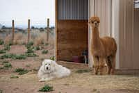 The New Mexico Fiber Crawl hits all aspects of fiber. This alpaca is among the residents at Wide Sky Ranch near Santa Fe. There, Dave and Pam Groff raise alpacas and make yarn and other fiber products. This year's Crawl, the first, will be over Mother's Day.