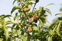 A peach tree starting to bear fruit ((2012 File Photo))