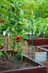 A bell pepper plant bears fruit at the White House Kitchen Garden. (National Park Service)