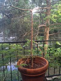 """Green Cascade"" Japanese maple(Reader photo)"