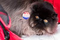 """""""James Bond,"""" an 8-month-old Black Solid Persian, wears an """"I Voted"""" sticker put on by his owner, Nadja Bem, of Dallas, outside of the polling station at Reverchon Park on Nov. 8, 2016 in Dallas.(Ting Shen/Staff Photographer)"""