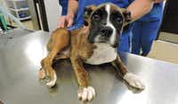 Diesel, a boxer puppy, was stomped on and thrown, resulting in fractures to hips and hind legs.(Wylie Police Department)