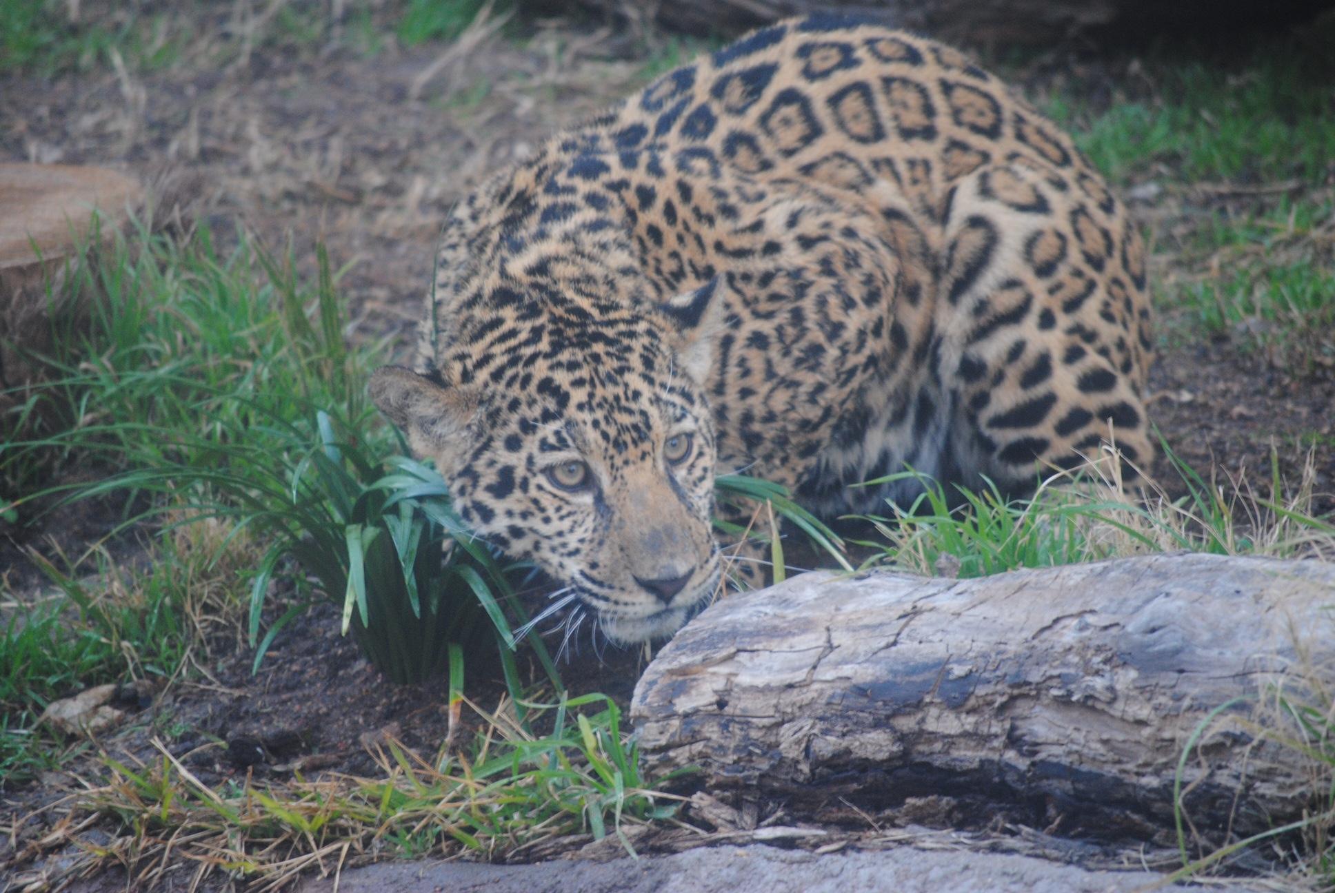 Jaguars In Abilene Texas