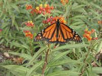 A male monarch butterfly feeds on the flowers of a Mexican milkweed.(Dale Clark)