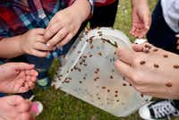 Preschool students from Xplor Trinity Mills Preschool  in Carrollton  release thousands of ladybugs in celebration of Earth Day.(Special Contributor /Ben Torres)
