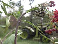 Monarch butterfly caterpillar feeding on Mexican milkweed.(Jane Breckinridge/The Associated Press)