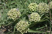 Asclepias asperula, called antelope horn milkweed, is a native plant.(Roger Sanderson/Texas Discovery Gardens)