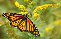 A monarch butterfly feeds on a goldenrod flower.(Rich Beauchesne/The Associated Press)