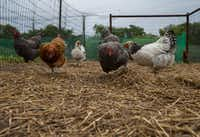 Chickens feed in a coop at Eden Hill Vineyard & Winery in Celina.(Ryan Michalesko/Staff Photographer)