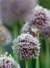 A bee on a allium bloom at Golden Farms in Celina(Nathan Hunsinger/Staff Photographer)