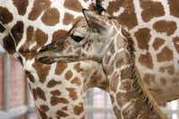 The Dallas Zoo welcomed a baby giraffe Tuesday.(Dallas Zoo/Courtesy)