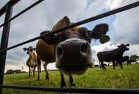 Cows graze in a pasture at Golden Farms in Celina.(Ryan Michalesko/Staff Photographer)