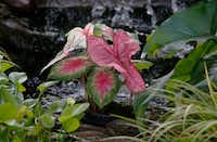 Kimberly Atchley planted caladiums in her pond.(Ron Baselice/Staff Photographer)