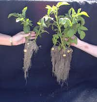 Notice the difference in root growth between unhealthy soil on the left and healthy soil on the right.(Howard Garrett)