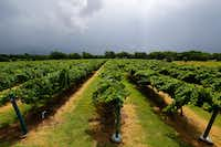 Grapevines at Eden Hill Vineyard & Winery in Celina on June 1.(Nathan Hunsinger/Staff Photographer)