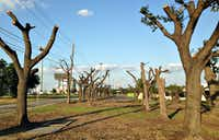 A look at what's left of the live oaks along Forest Lane near Josey in northwest Dallas.(Robert Wilonsky/DMN Staff)