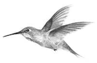 Hummingbirds can hover, helicopterlike, for as long as an hour and a half, according to<i>The Wonder of Birds</i>by Jim Robbins.(DD Dowden illustration)