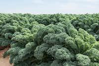 """Winterbor"" kale from Bejo Seeds.(National Garden Bureau)"