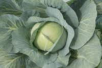 Reaction white cabbage from Bejo Seeds.(National Garden Bureau)