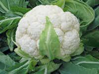Skywalker cauliflower from Bejo Seeds.(National Garden Bureau)