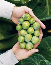Nautic Brussels sprouts from Bejo Seeds.(National Garden Bureau)