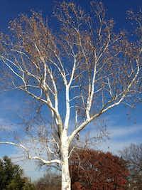 An American sycamore tree in winter.(Howard Garrett)