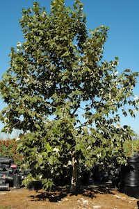Mexican sycamore tree(Howard Garrett)