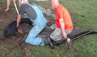 After securing it to a nearby tree and fence posts, the wranglers mount the gator to clamp shut its massive snout — but not before the animal gives the whole affair a thumbs-down.<br>(Convergent Hunting<br>/YouTube)