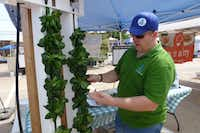 Scott Rowdon, owner of Olive Trunk Farms in Little Elm, explains how butterhead lettuce grows hydroponically in ZipGrow farm wall towers. (Kim Pierce/ )