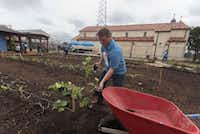 Scot Sanders, project manager of the Austin Street Center's New Hope Garden, plants cucumbers.(Rex C. Curry/Special Contributor)