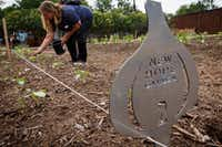Rochelle Austin from Austin Street Center's Sisterhood pulls weeds in the New Hope Garden.(Smiley N. Pool/Staff Photographer)