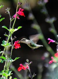The ruby-throated hummingbird loves the tubular flowers produced by the cherry sage.(Handout/MCT)