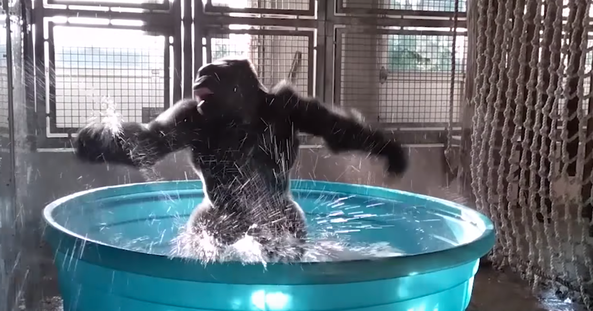 Splashdance caught on camera zola the gorilla shows his for Pool show dallas